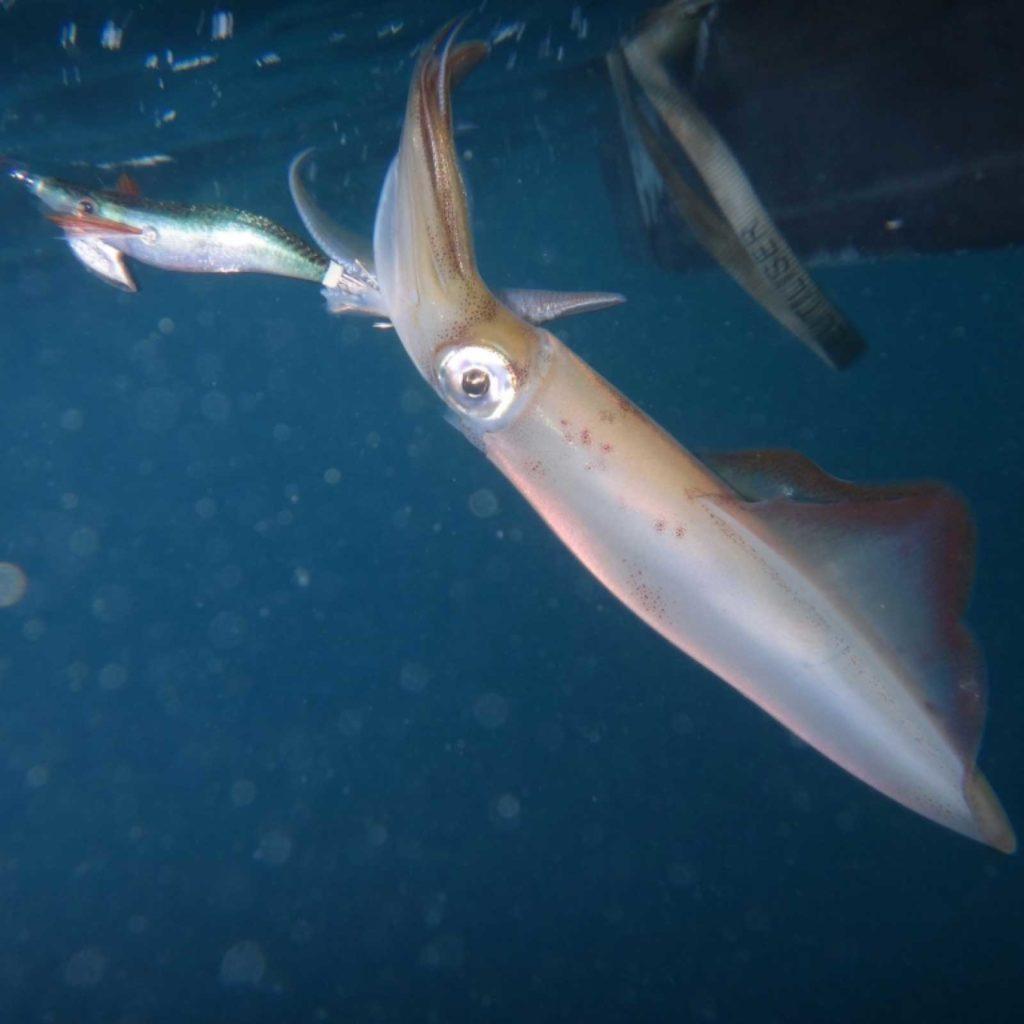Pêche au calamar